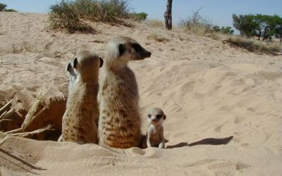 Three Lockdown Lessons Business Can Learn from Meerkats